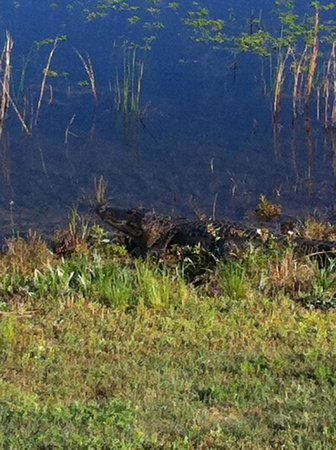 Wingate by Wyndham Destin : Aligator minding his own business.