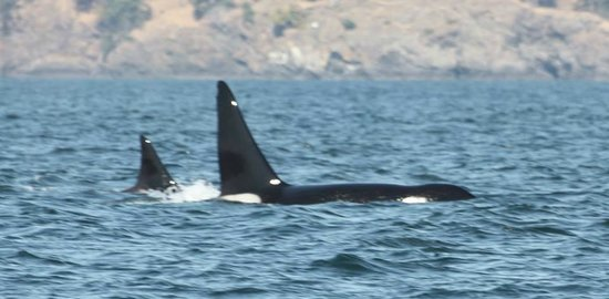 Orca Spirit Adventures : Killer Whale- Mother and Son