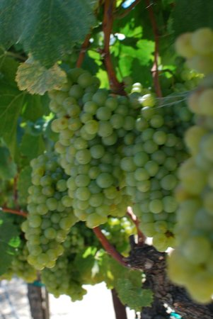 Ceja Vineyards: Grapes ready to be picked