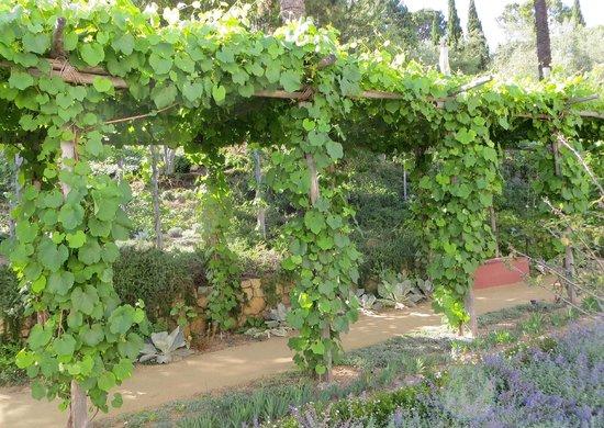 The Getty Villa: Grape Vines In The Herb Garden