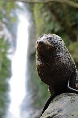 Ohau Stream Walk: Kaikoura Seal pup in front of waterfall