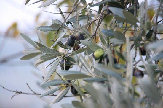 Castello del Trebbio : Olives