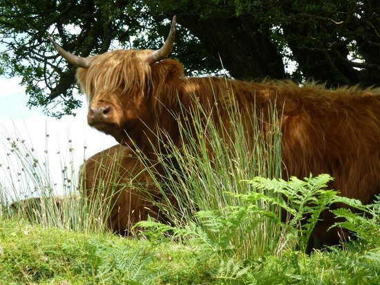Mariners Lodge: Highland Cattle on Exmoor