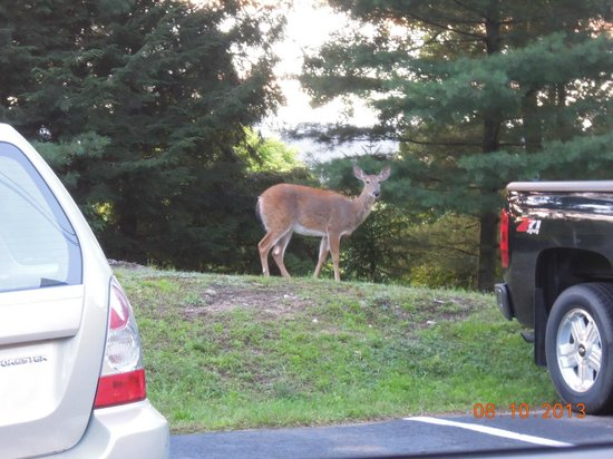 Pine Knoll Lodge & Cabins Inc: Deer grazing near parking lot.