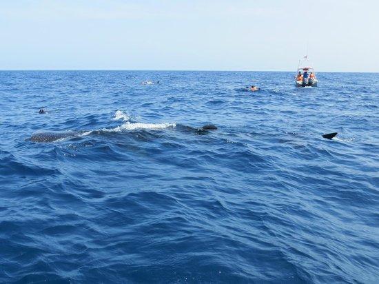 Underwater expeditions -  Tour Tiburon Ballena: Nota el tamaño del tiburón en relación a la lancha y buzos