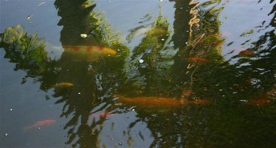 Sunnyside Garden : Fish from one of the ponds
