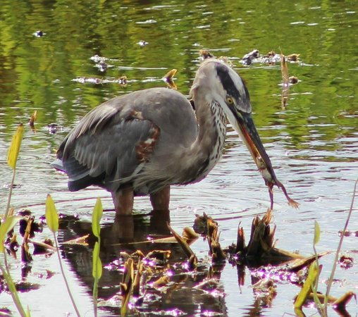 Ritch Grissom Memorial Wetlands: Blue Heron with frog
