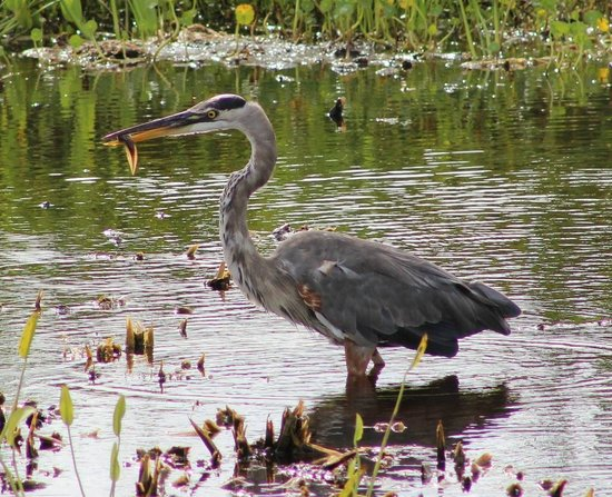 Ritch Grissom Memorial Wetlands: Blue Heron with fish