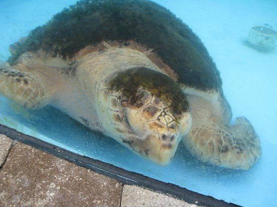 Loggerhead Marinelife Center: Turtle on the mend.