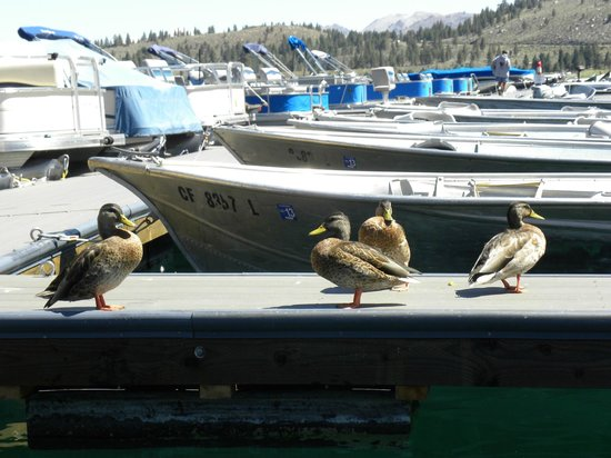 June Lake Marina with rental boats and friendly ducks.