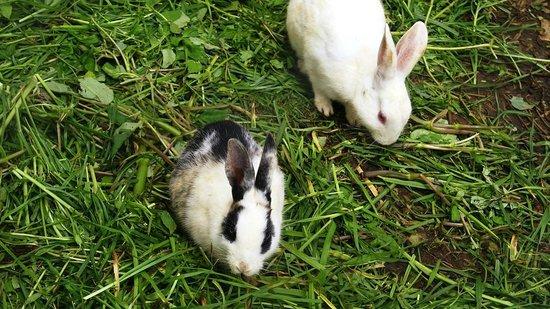 Taj Savoy Hotel, Ooty: Rabbits at Garden
