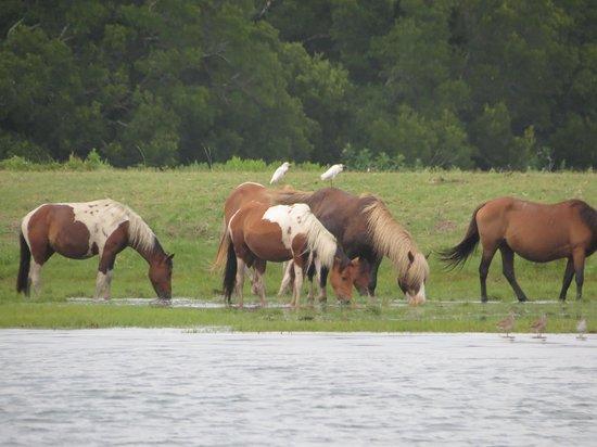 Assateague Explorer Wildlife Cruises: Ponies