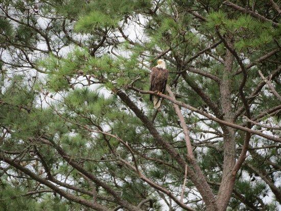Assateague Explorer Wildlife Cruises: Bald eagle