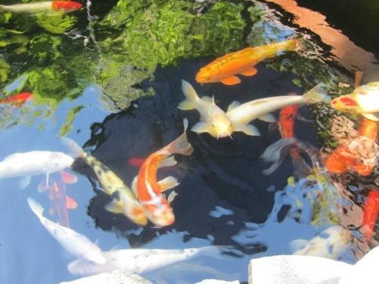 Craftsman House Bed and Breakfast Los Angeles: Koi at fun