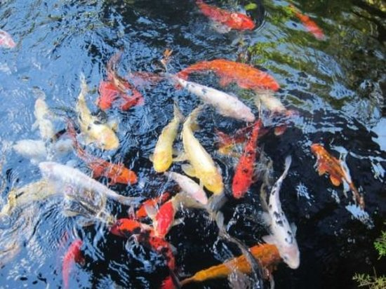 Craftsman House Bed and Breakfast Los Angeles: more koi at fun