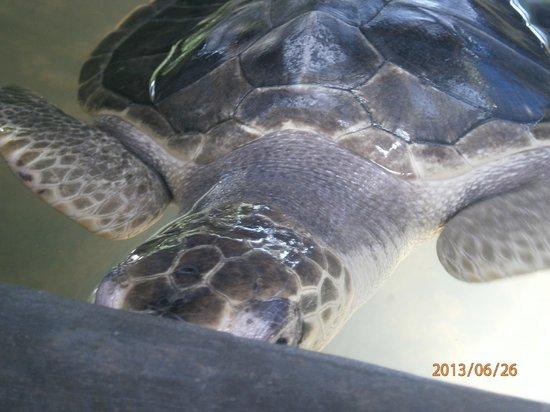 Peacock Hotel: Turtle farm near Unawatuna