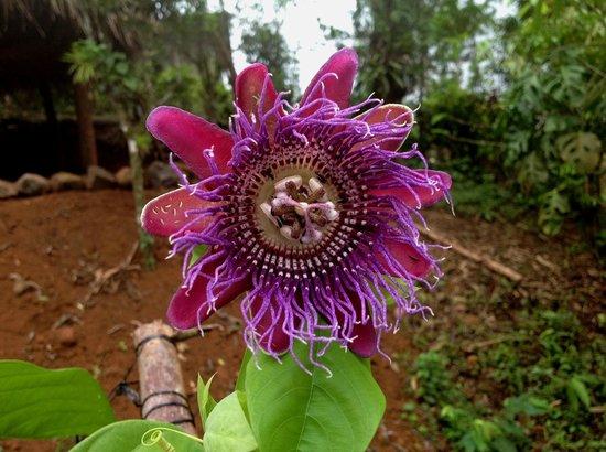 Mariposario Cerro La Vieja: Passiflora cuadrangularis o granadilla