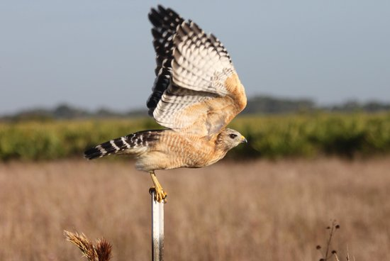 Kissimmee Prairie Preserve State Park: Hawk Taking off next to the road