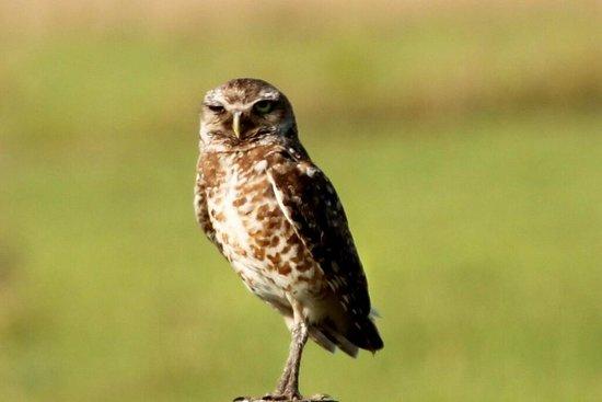 Okeechobee, Φλόριντα: Burrowing Owl