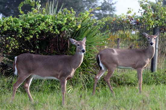 Kissimmee Prairie Preserve State Park: deer by the horse corall