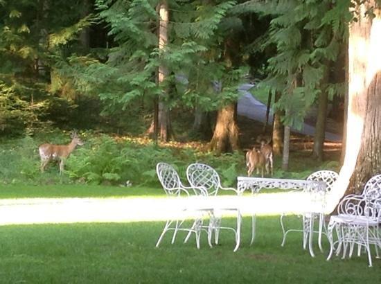 Clark House on Hayden Lake : Some deer I saw in the morning while I was drinking coffee outside and working on my iPad