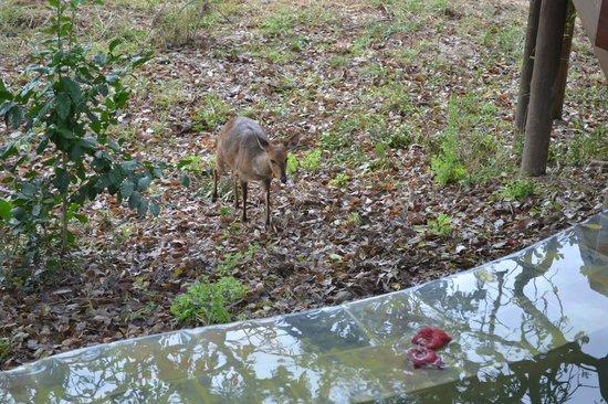Hamiltons Tented Safari Camp: Bushbuck visiting