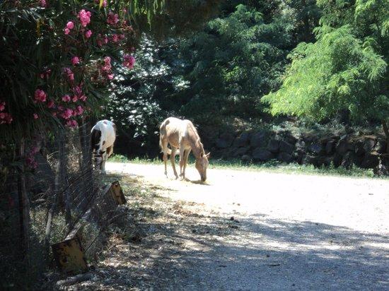 Somma Vesuviana, Italia: cavalli