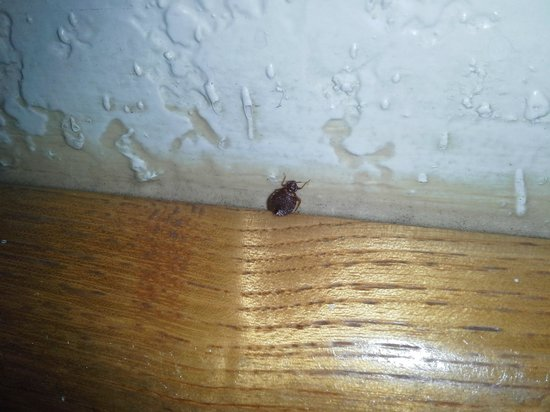 Arroyo Grande, CA: Bed Bug crawling on the headboard