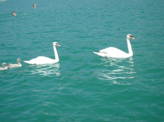 Erlenheim : Swan family on the lake