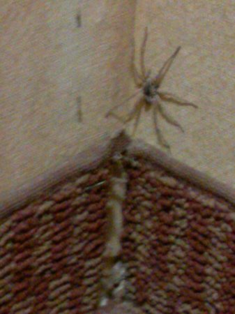 Whiskey Pete's Hotel & Casino: spider found by bed