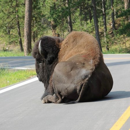 Custer State Park: Buffalo enjoying the morning sunshine