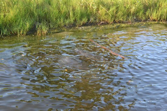 Space Coast River Tours: Manatees in the Water at Kelly Park