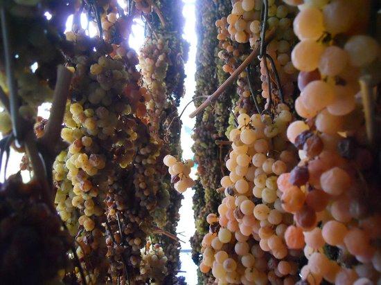 Azienda Agricola Losi Querciavalle: Grapes for the Vin Santo