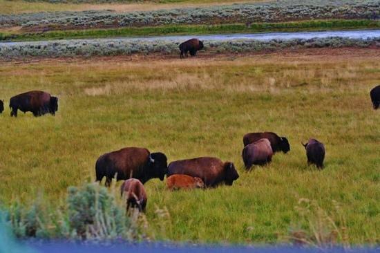 Jackson Hole Wildlife Safaris - Day Tours: Bison in Yellowstone