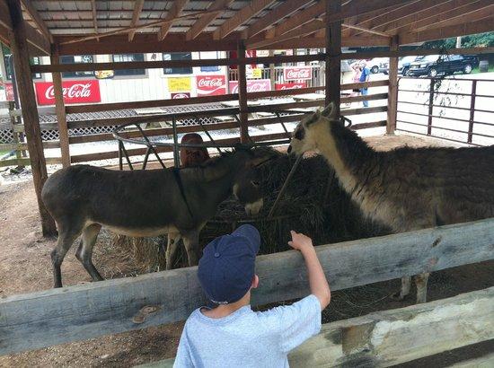 Big Rock Dude Ranch at Ponderosa : Lamas, donkeys, peacocks and more!