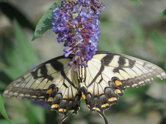 Chimney Hill Estate & Ol' Barn Inn: Butterflies abounded on the bushes outside