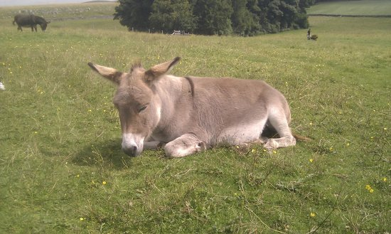 Peak Forest, UK: snoozing donkey