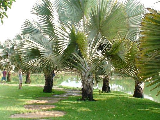 Brumadinho, MG : As lindas palmeiras de madagascar