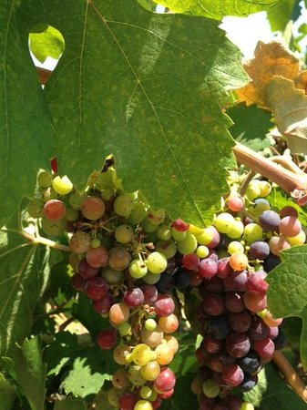 Napa Tours and Chauffeur : Almost harvest time...