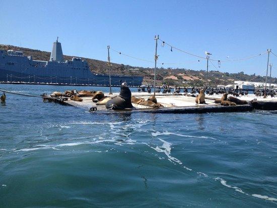 Speed Boat Adventures : Big male Sea Lion