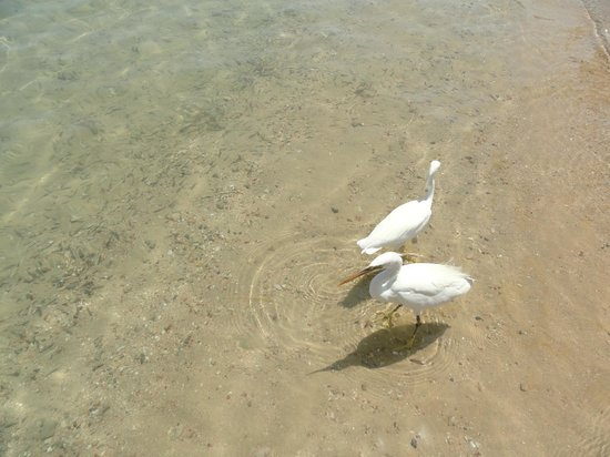 Al Mashrabiya: Цапли приходили поесть рыбки.