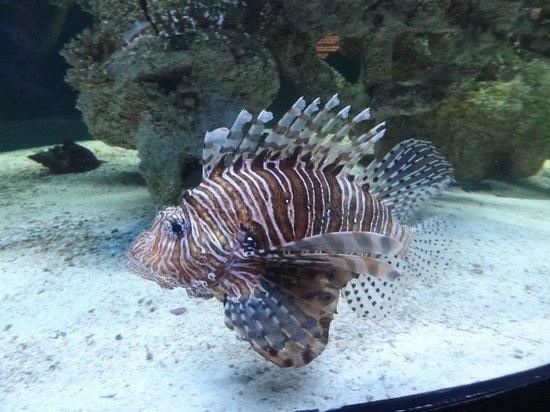 North Carolina Aquarium at Pine Knoll Shores: Zebra fish