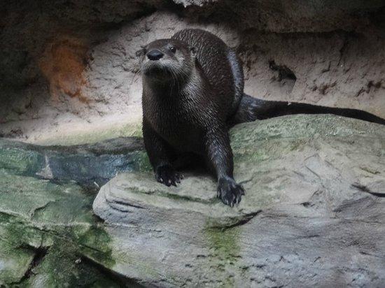 North Carolina Aquarium at Pine Knoll Shores: Otter at Pine Knoll Shores Aquarium