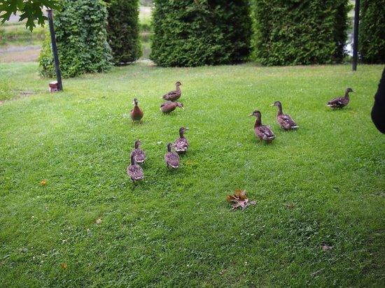 Gîte de la Maison Blanche : Petits canards dans le jardin