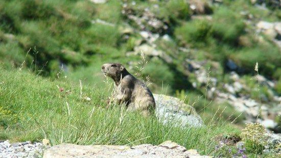 Le Biscaü : Marmotte