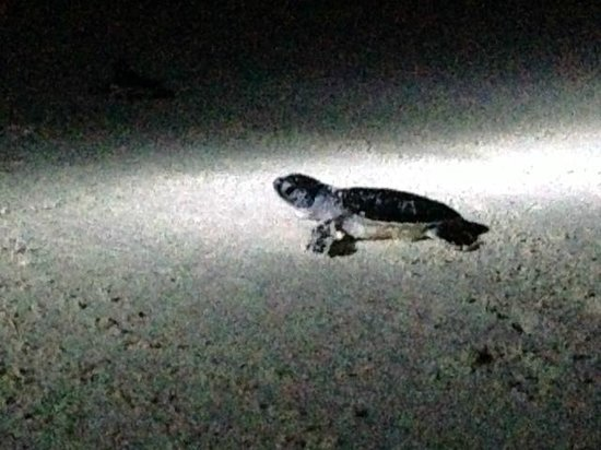Valentin Imperial Maya: Releasing baby turtles, hatched during turtle season