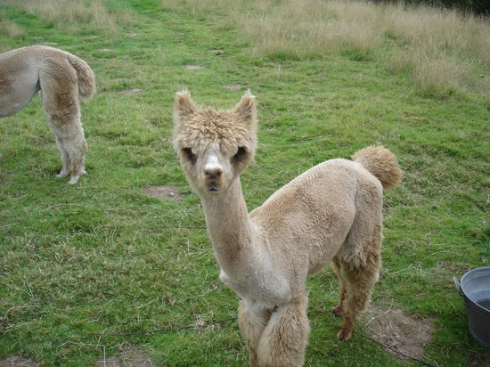 Shropshire Hills Bed and Breakfast: ONE OF THE ALPACAS