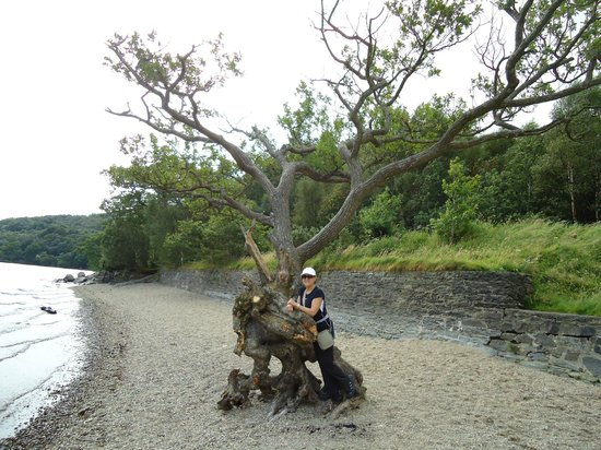 Loch Lomond Shores: Árvore na prainha
