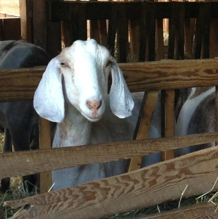 Trevin Farms: Goat!
