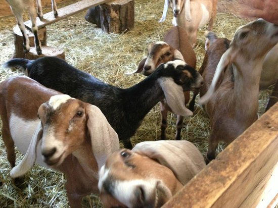 Trevin Farms: Baby Goats!